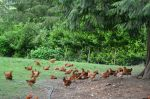 Chickens lounging around our farm