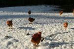 Our chickens chillin' in the snow
