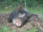 Brody our boar...trying to nap