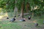Turkeys relaxing