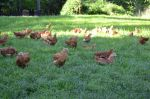 meat birds free ranging on our pasture