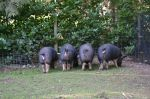 Pig butts!