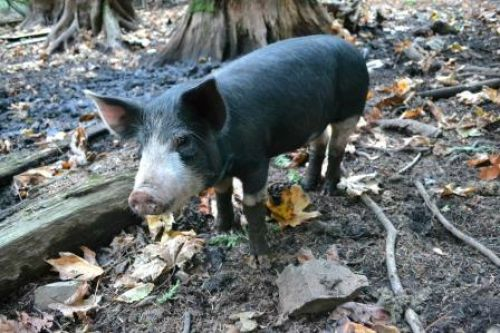 Young woodland Berkshire pig