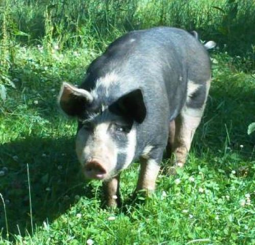 Tinkerbelle, our Berkshire sow