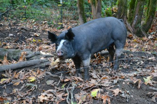 Our sow Annabelle