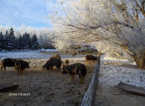 Frosty January day in the pig pen