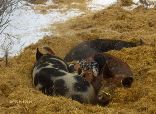Piglets in January! - doing just fine!