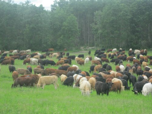a mob of cattle, ours and custom-grazed yearlings