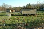 Layer hens with our hen-mobiles.  Each hen-mobile can house 110 hens.  They are moved twice a week during the growing season.  Hens lay their eggs in built-in nest boxes located on the sides of the hen-mobiles.