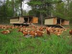 Our layer hens-with their hen mobiles hit the pastures for their for their seasonal rotation through the greens