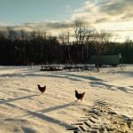 Renegade hens make their escape across the snow!