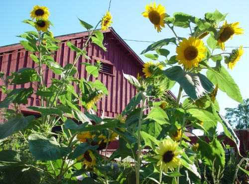 Sunflowers in front of the dairy barn