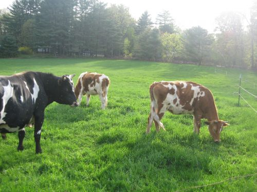 Cows on pasture, nothing finer!