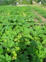 Winter Squash plants