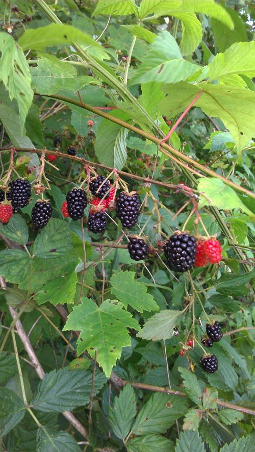 Blackberries along the Stream