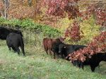 Some of the herd enjoying the fall grass