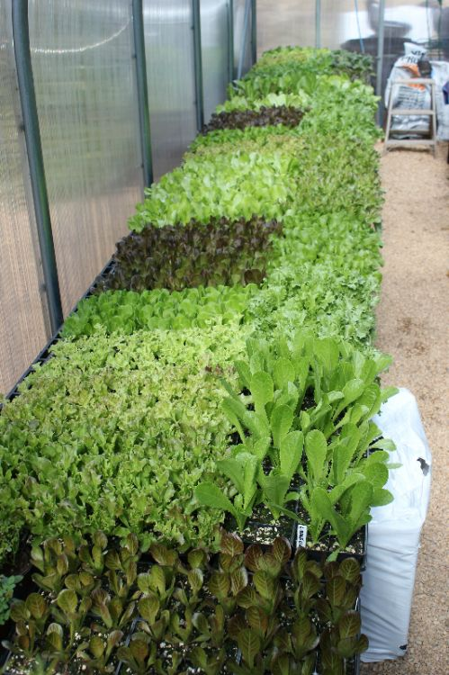 Lettuce in Greenhouse