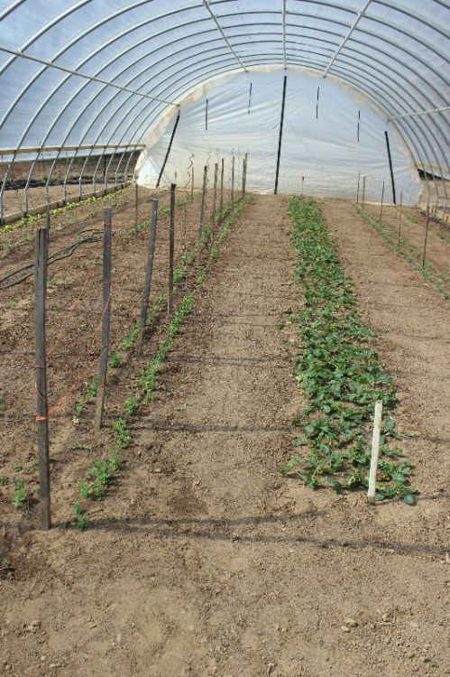Planting in High Tunnel