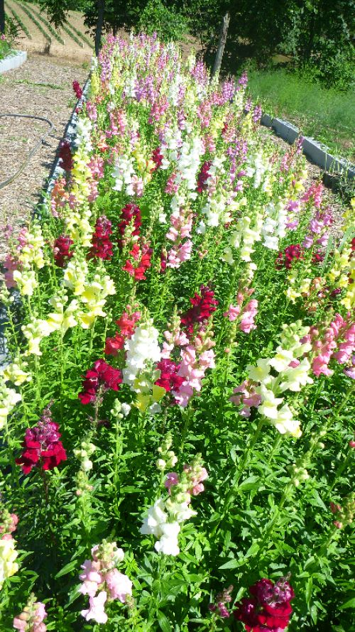 Bed of Snapdragons