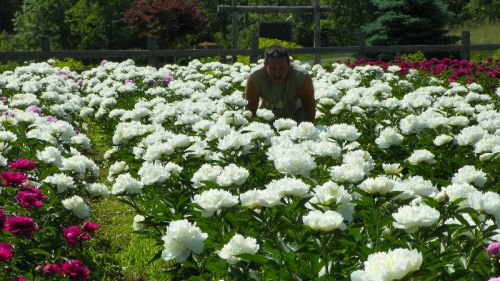 In the Peonies