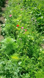Flowers for pollinators and beneficials