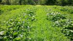 The winter squash block in summer...winter squash surrounded by crimson clover