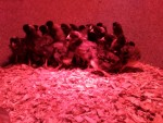 our new chicks...Plymouth Barred Rocks