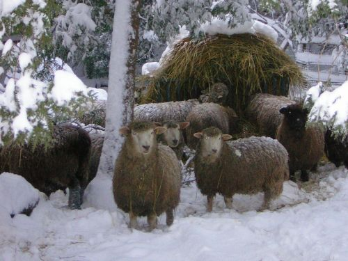The sheep in their winter pasture