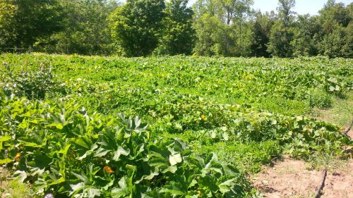 The winter squash patch