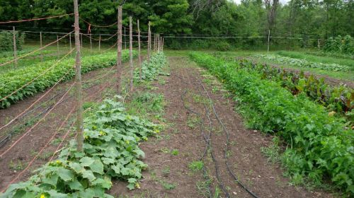 The cucumber block in summer...the early lettuce has already been replaced with carrots seeded for overwintering