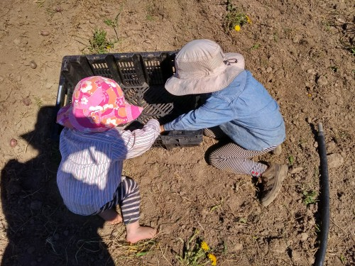 Oskar and Marilla counting seed potatoes