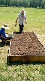 Planting basil at Suffield herb beds