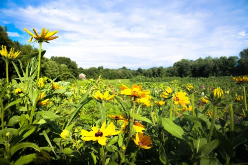Sunny rudbeckii at Hill st flower field by Jenny Graham