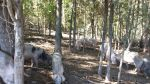Pastured Hogs Finished in Woods.