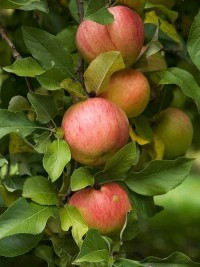 Zestar Apples - 5lbs