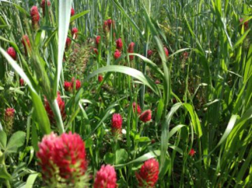 We use red ground clover, amongst other plants, as cover crop and to benefit our pollinators.