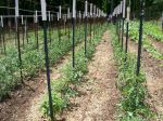 Tomatoes, staked and growing
