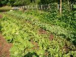 Lettuce, beans, squash June 7th