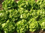 Buttercrunch lettuce June 7th