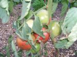 Tomatoes on June 21