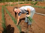 Heather, harvesting onions, favorite grand-daughter