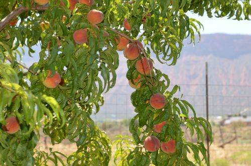 Peaches Ready For Harvest