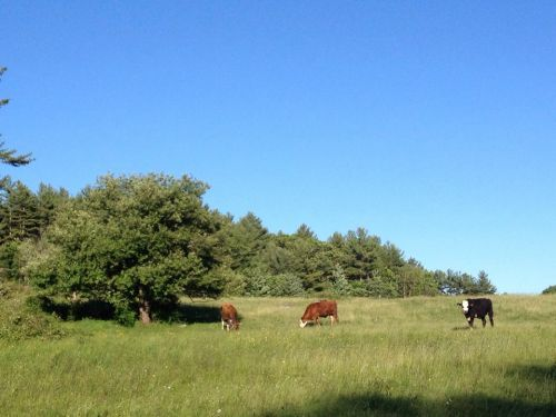 Summertime pastures on Harding Hill Rd