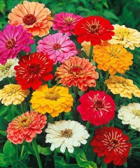 Flower Seeds: Colorful Zinnia Mix