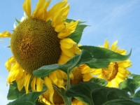 Seeds: Titan Sunflower