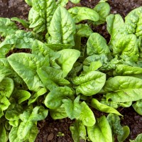 Seeds: Spinach Bloomsdale