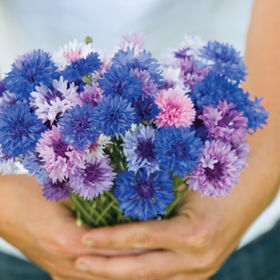 Flower Seeds: Bachelor Button Flower Seeds