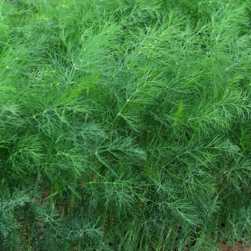 Herb Seed: Dill