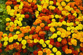 Flower Seeds: Marigold Seeds Variety Pack
