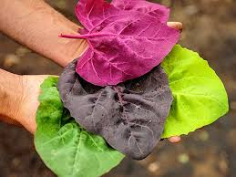 Seed: Orach Multi Colored Variety